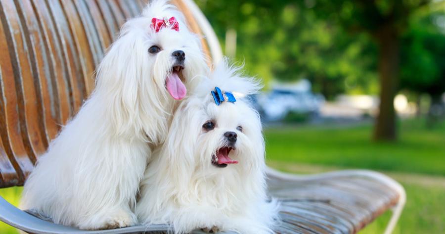 bichon maltes razas perro limpio