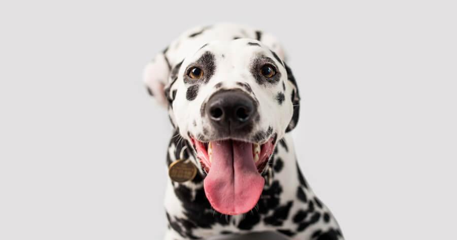 dalmata perro limpio raza