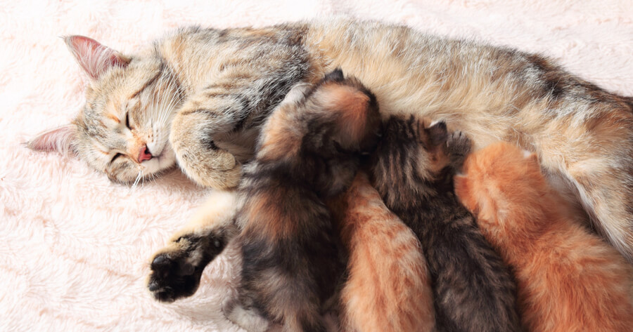 gata amamantando gatitos