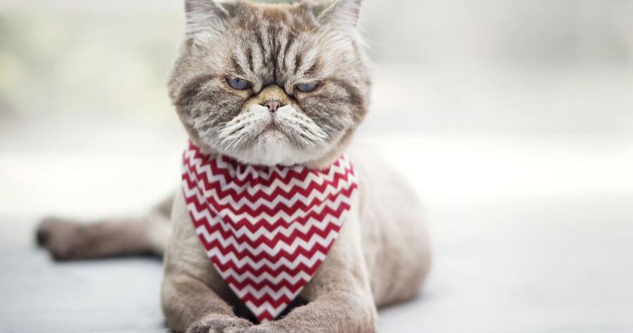 gato enfadado ruido