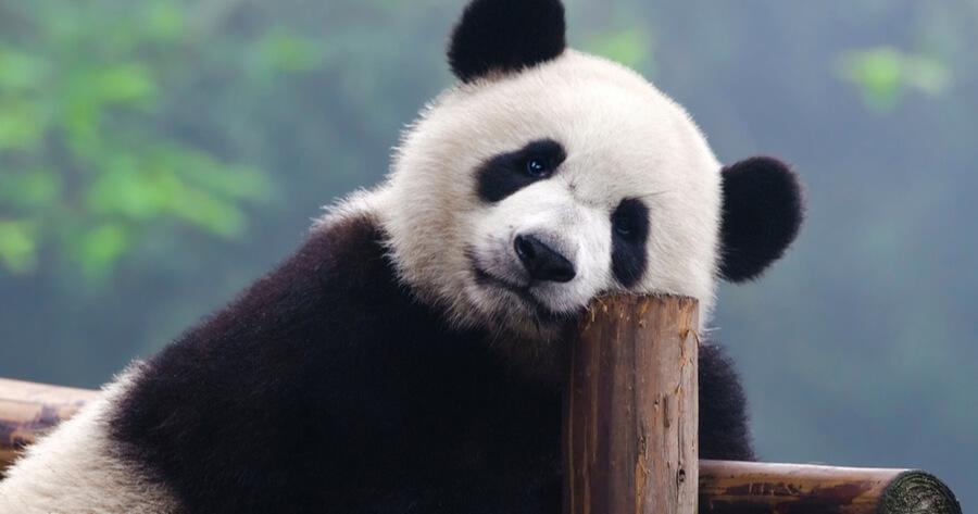 oso panda dia mundial de la naturaleza