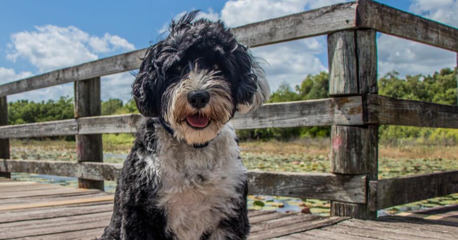 perro agua portugues razas limpias