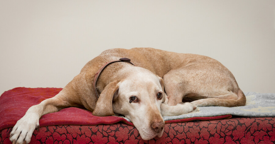 perro alzheimer depresion