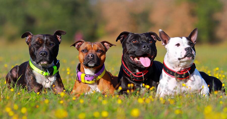 Staffordshire bull terrier raza peligrosa