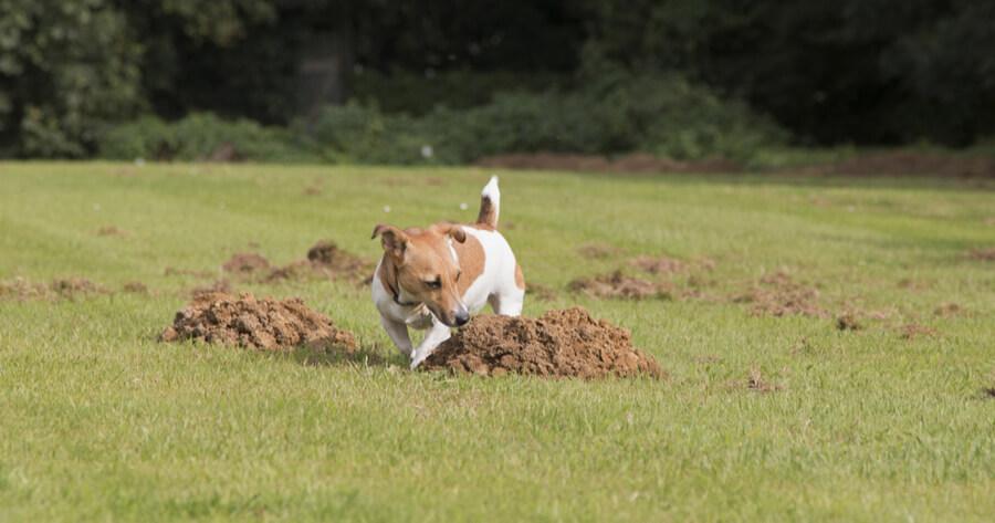 Hund entdeckt Maulwurfhaufen