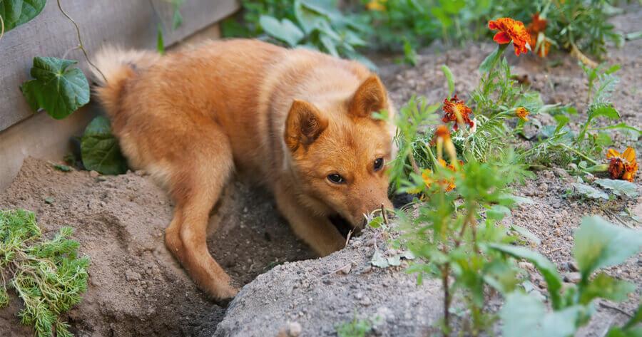 Hund buddelt im Blumengarten
