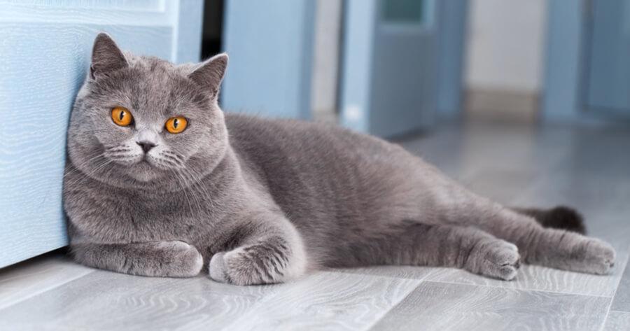 The British shorthair cat