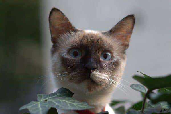 Burnese cat