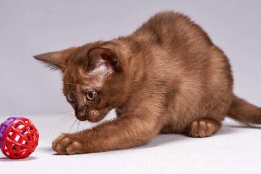 Brown kitten playing with ball