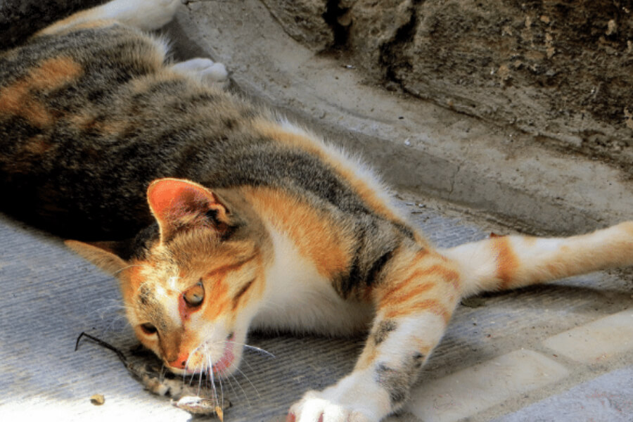 cat eating dead mice