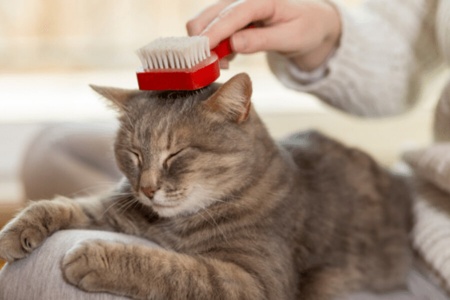 Grey cat getting brushed