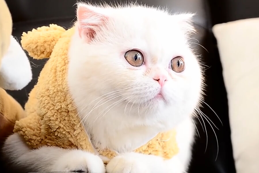 The exotic shorthair cat