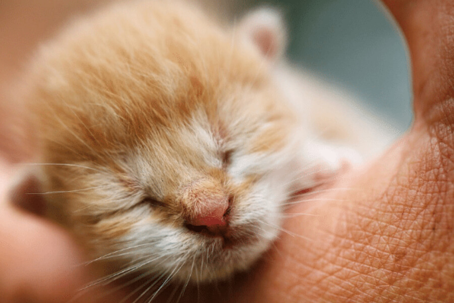 Newborn ginger kitten