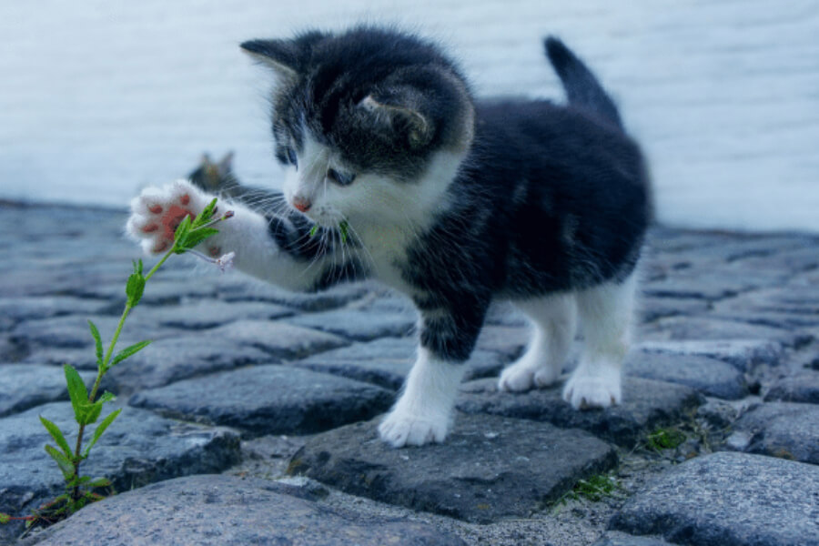 Black and white kitten playing with flowers