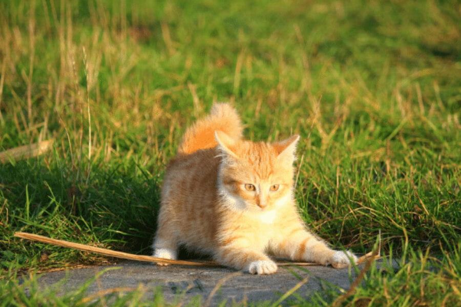 Ginger kitten in the grass