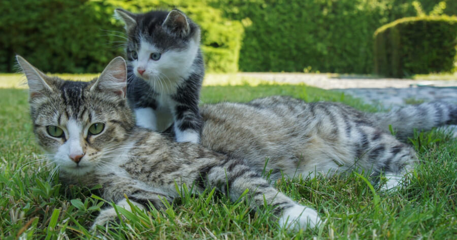 Kitten and mum in grass