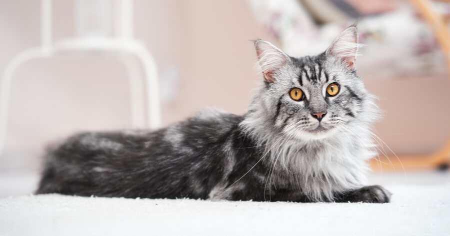 Grey Maine coon in lounge