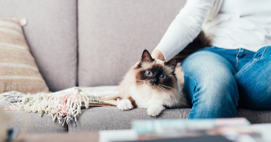 Ragdoll cat sitting on sofa next to its owner