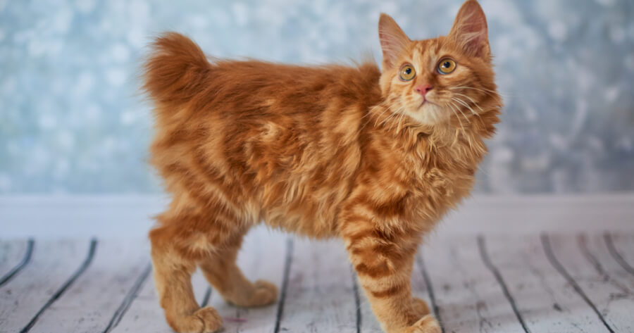 The american bobtail cat without a tail
