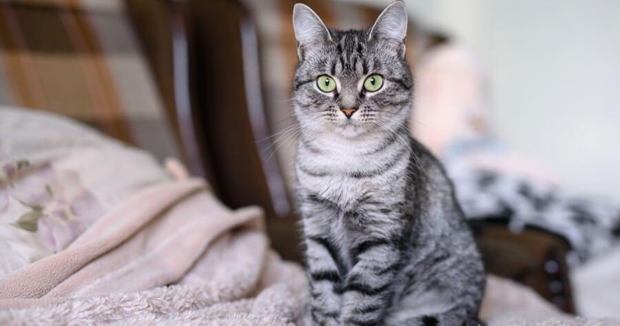 The American Shorthair cat