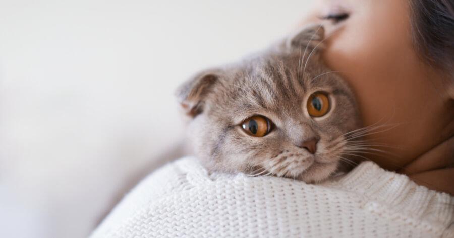 Scottish fold cat in owner's arm