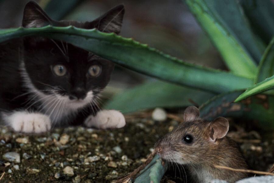gato intentando comer raton