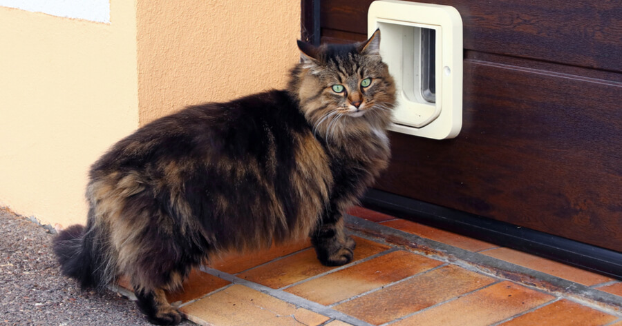 Norvegian cat in front of a cat flap