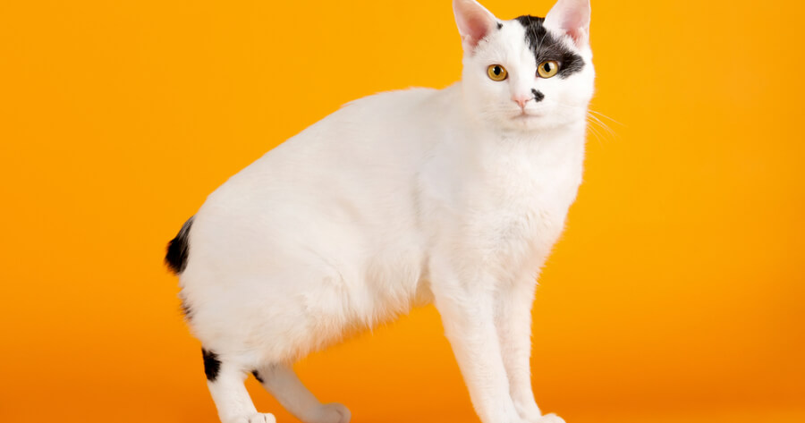the Japanese bobtail cat without a tail