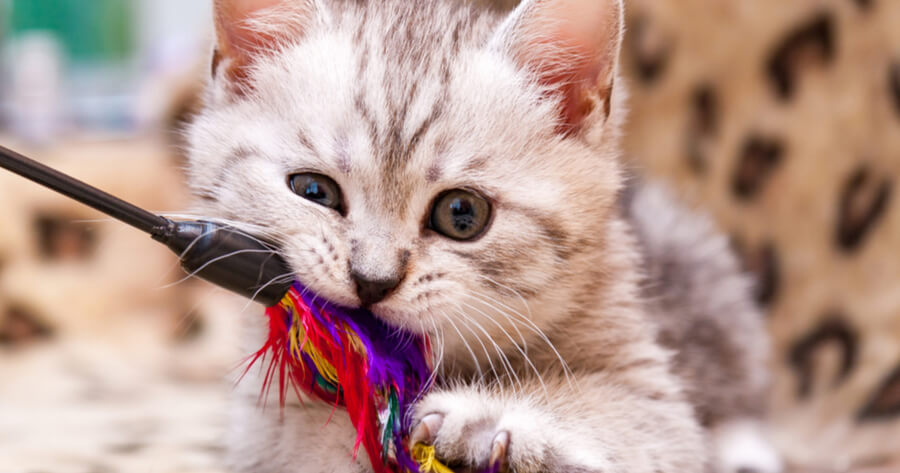 Grey kitten with toy in mouth