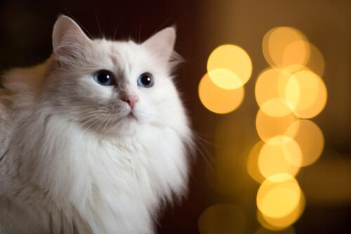 Maine Coon gato