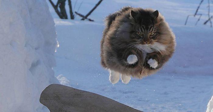 gato noruego saltando en la nieve