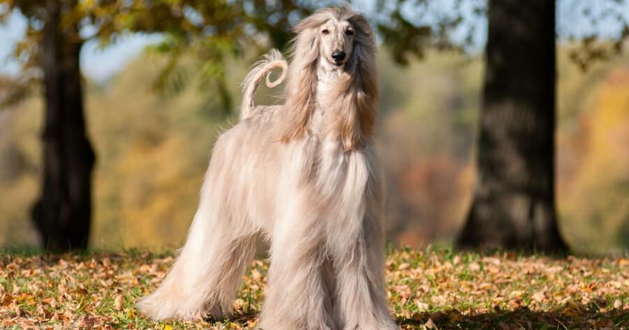 The Afghan hound dog