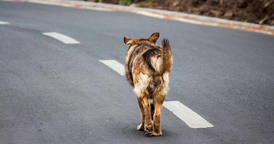 angry dog walking on his own on the road