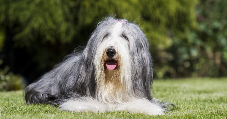 The Bearded Collie dog