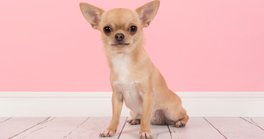 chihuahua on pink background