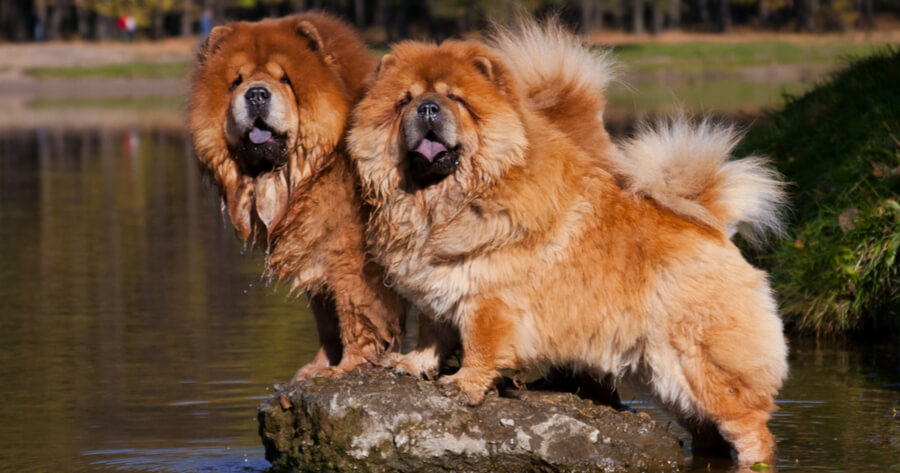 two ginger chow chows standing on rock in water