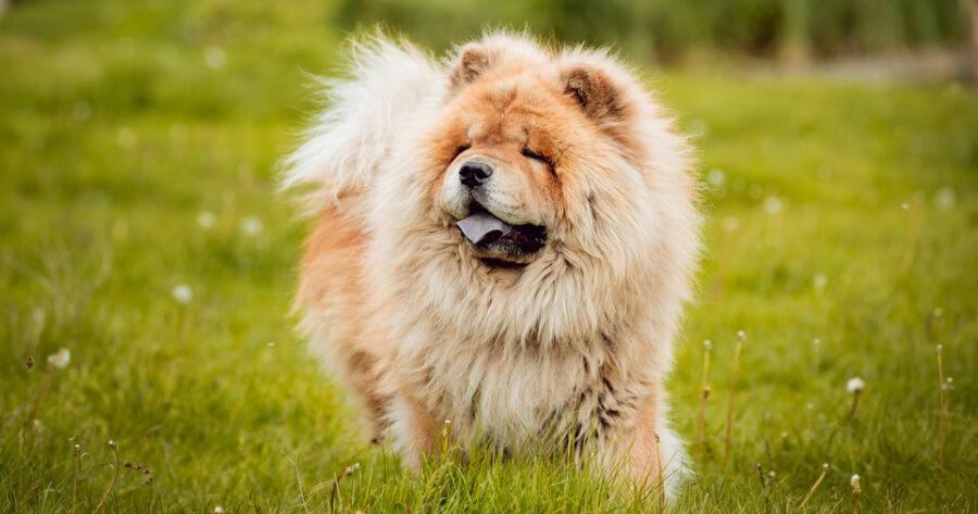 The Chow Chow dog