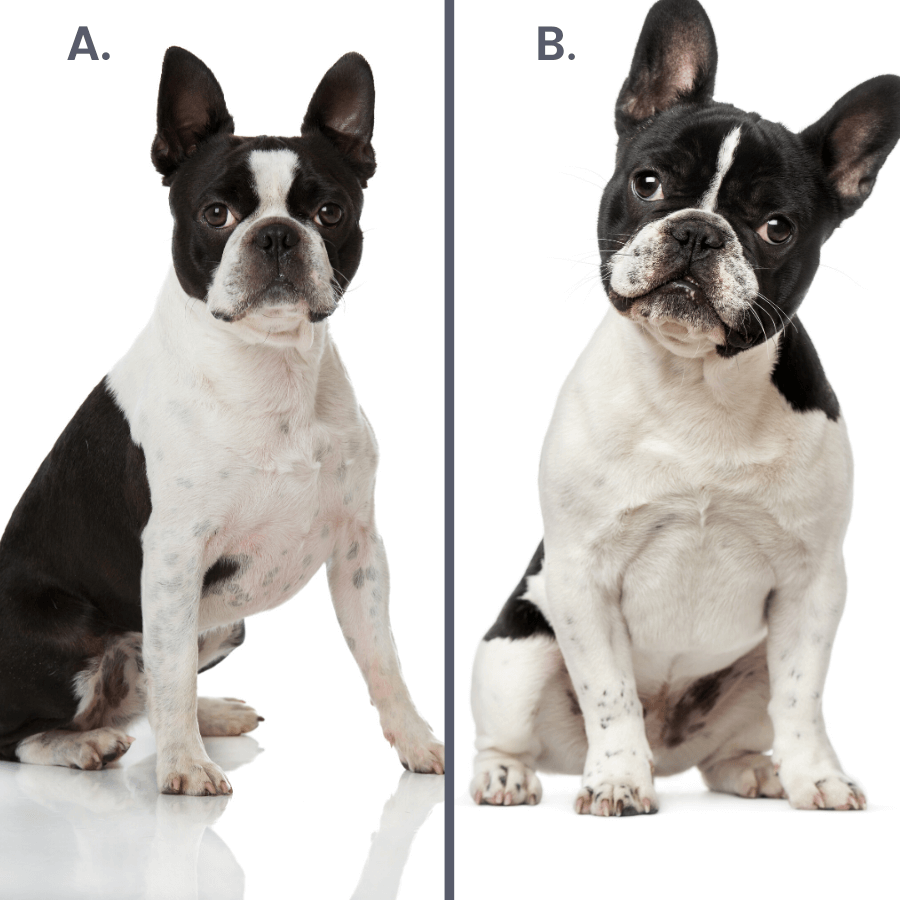 black and white french bulldog and boston terrier on white background