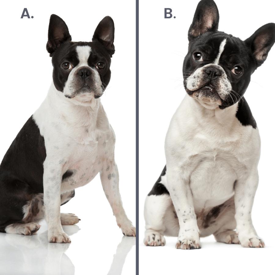 Bulldog francese e Boston Terrier bianchi e neri su fondo bianco