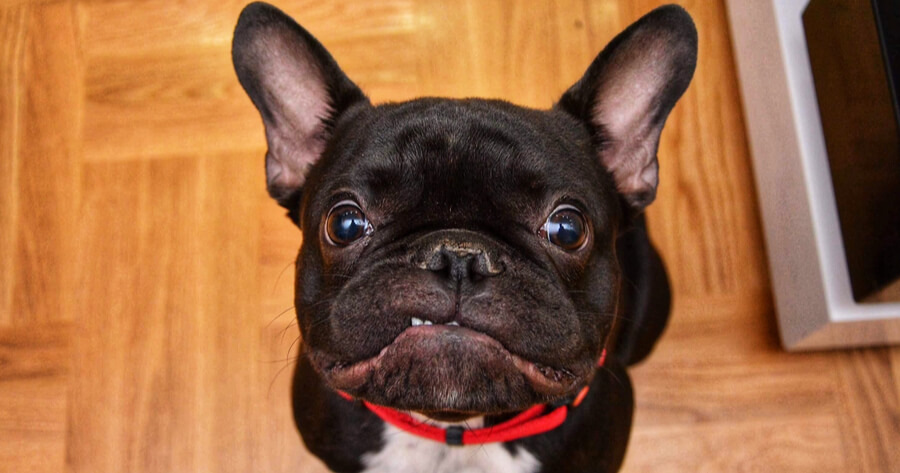 black french bulldog sitting and looking up
