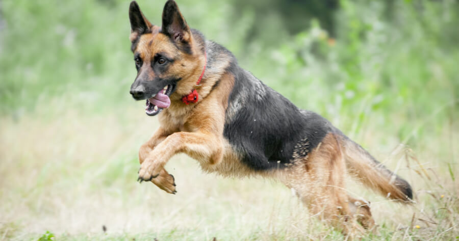 german shepherd running in grass