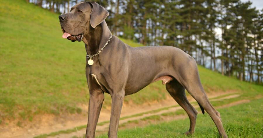 grey great dane standing in grass