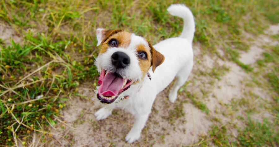 The Jack Russell dog