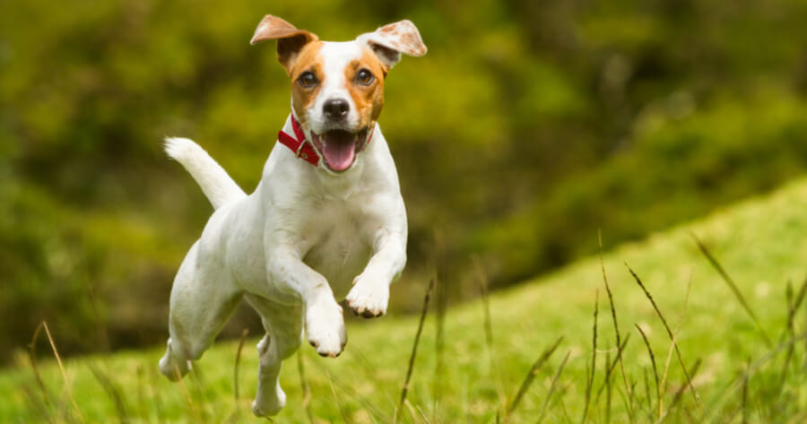 jack russell running in the grass