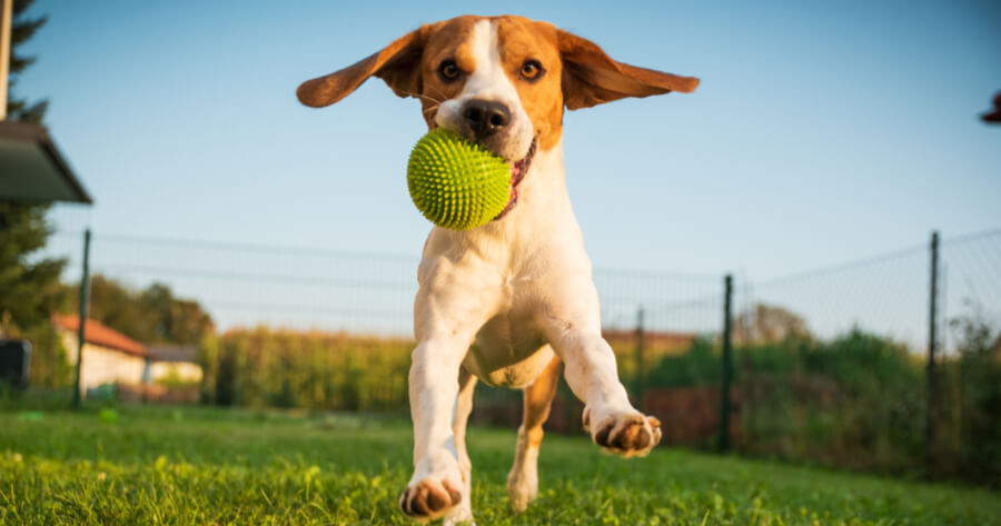 Jack Russell dog happy with his ball