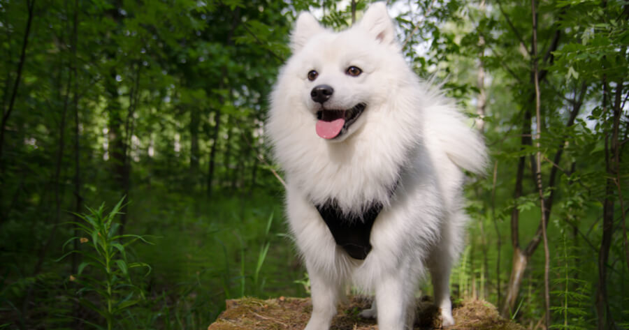 japanese spitz wearing harness and standing in forest