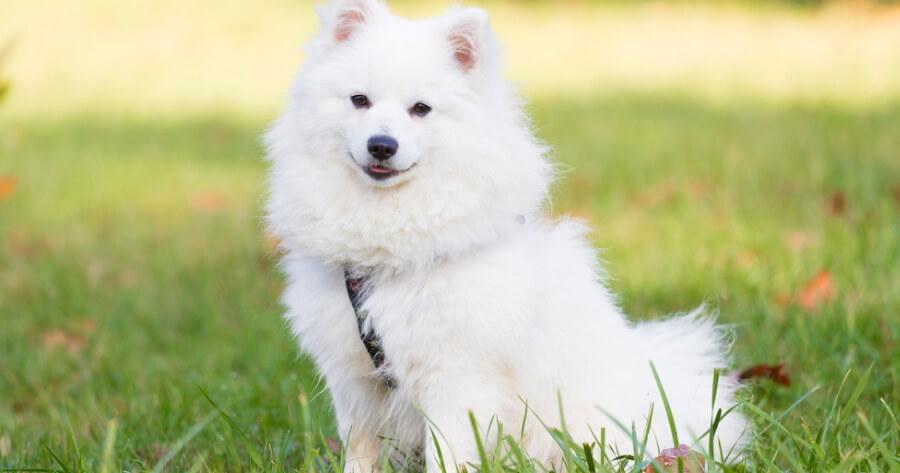 The Japanese Spitz dog