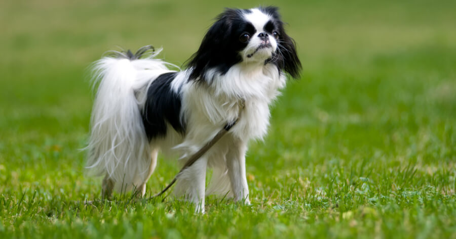 The Japanese Chin dog