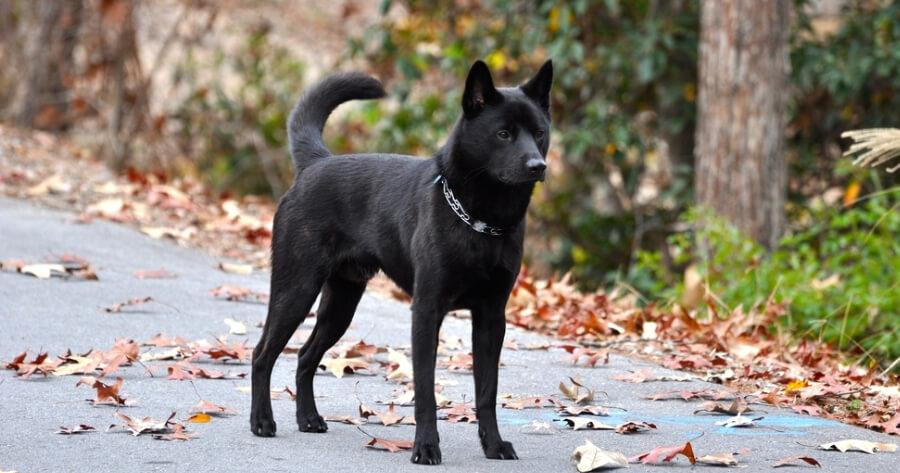 The Kai Ken dog