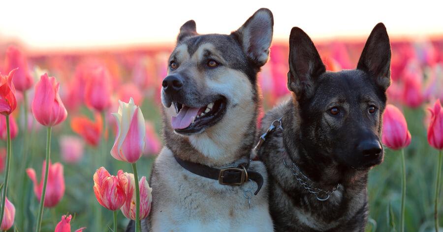 two kunming wolfdogs sitting in middle of flower field